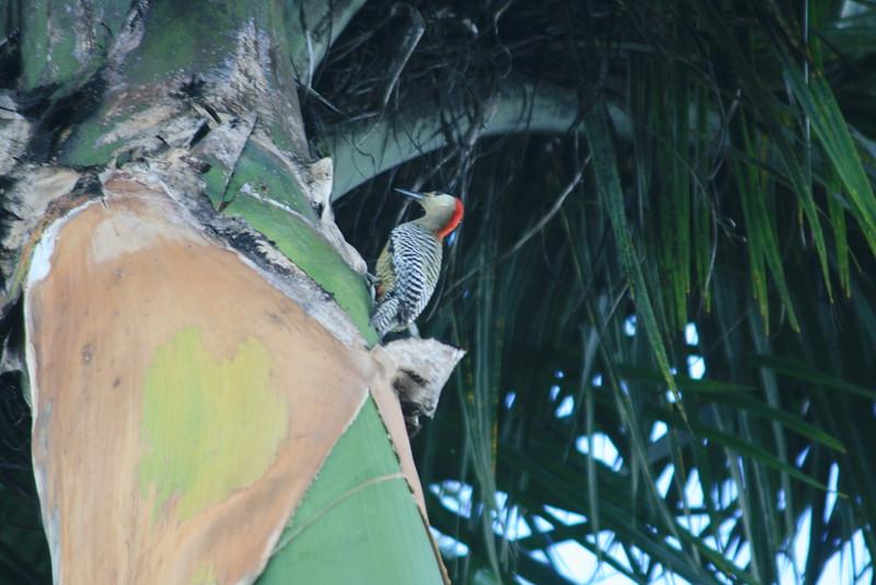 West Indies Woodpecker