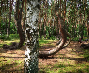 Poland (Crooked Forest)