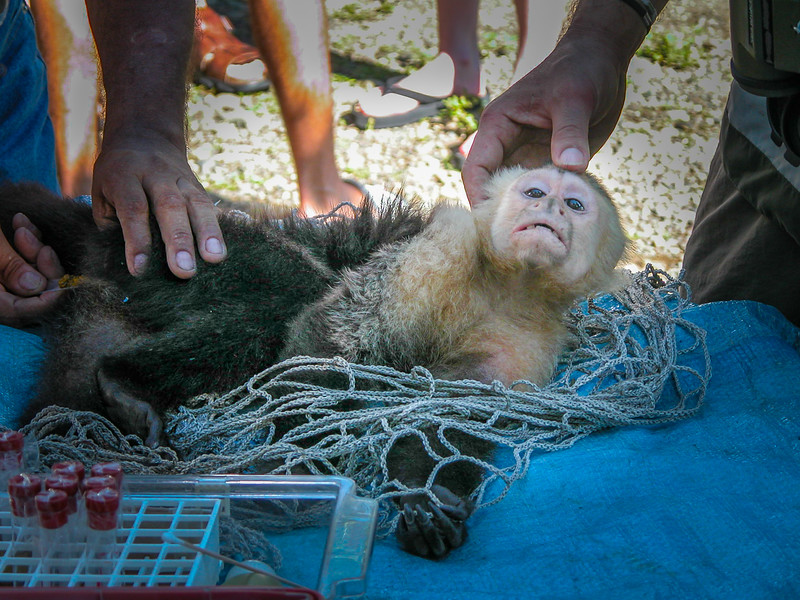 357 White faced Monkey being abused.jpg
