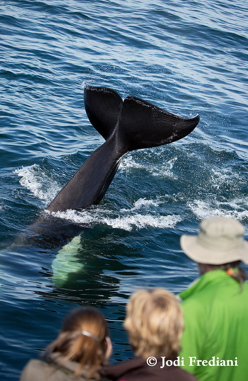 . Fat Fin, an adult killer whale who has frequented the Monterey Bay for years, has spent the last few days delighting whale watchers. An orphan raised by a surrogate mother, Fat Fin is known for engaging boats. (Photo courtesy of Jodi Frediani/Monterey Bay Whale Watch)