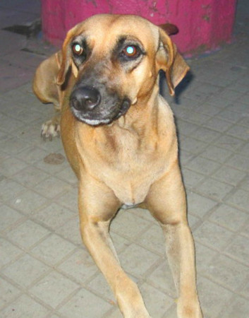 Dogs - Macha the sweet dog in Rivas, Nicaragua desperately needs surgery