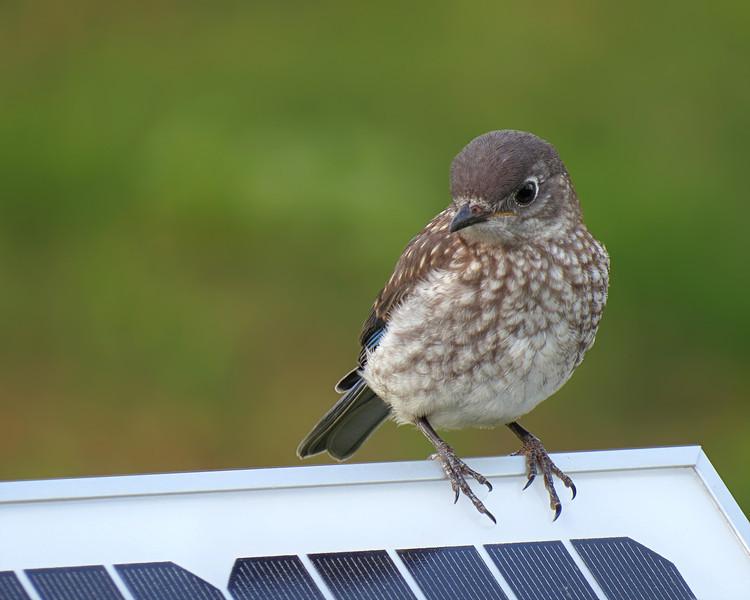 sx50_bluebird_fledgling_339.jpg