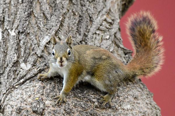 5-1-18 Red Squirrel - Backyard Visitor