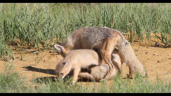 Swift Foxes Nursing