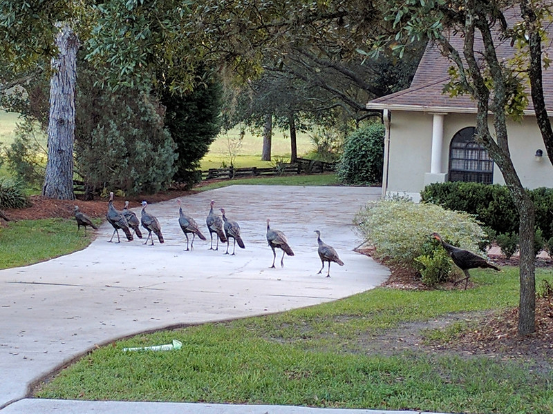 11_22_18 Turkeys out for a stroll.jpg