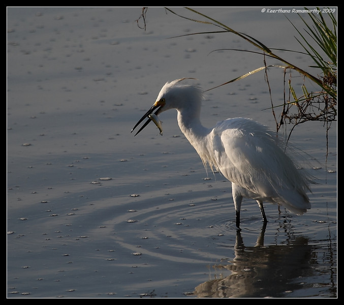 Snowy Egret with feed, Famosa Slough, San Diego County, California, August 2009