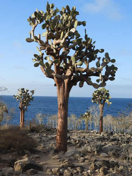 Still haven't guessed? Another clue: a prickly pear cactus that grows to tree heights near the ocean.