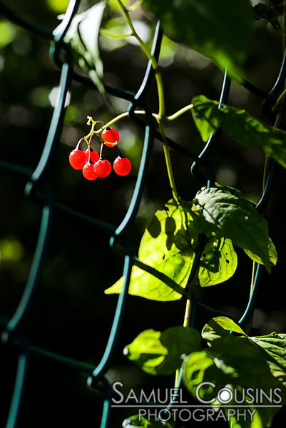 Deadly nightshade berries, growing on a fence.