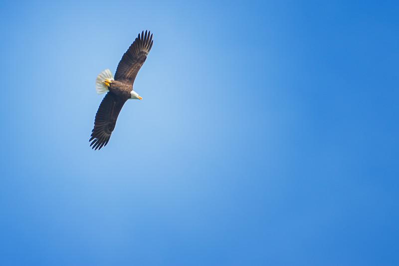 5.22.18 - Blackburn Creek Fish Nursery: Bald Eagle