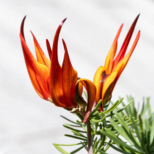 Flower on Fire?