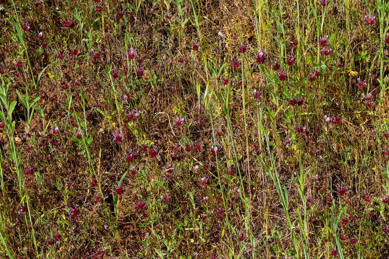A field of Tomcat Clovers - Los Altos, CA, USA