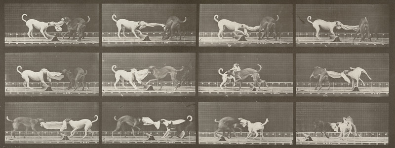 Dogs Ike, Maggie, etc. tugging at a towel (Animal Locomotion, 1887, plate 715)