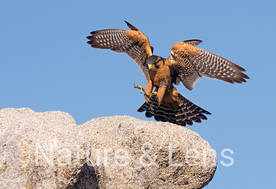 Falcons, Aplomado