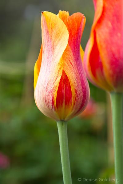 tulip in orange and yellow