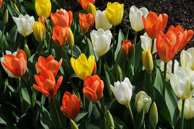 My Tulips 2012