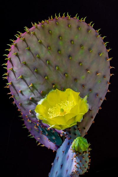 IR Cactus Flowers 2-1-2019c lt-2885.jpg