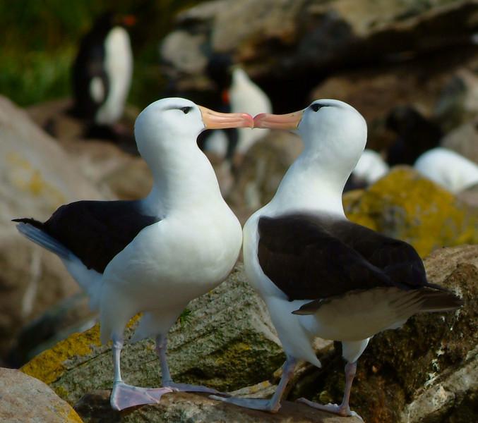 Albatross in Falkland Islands