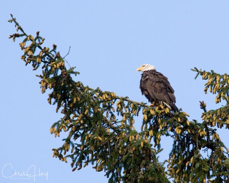 Bald Eagle at Salmon River.jpg