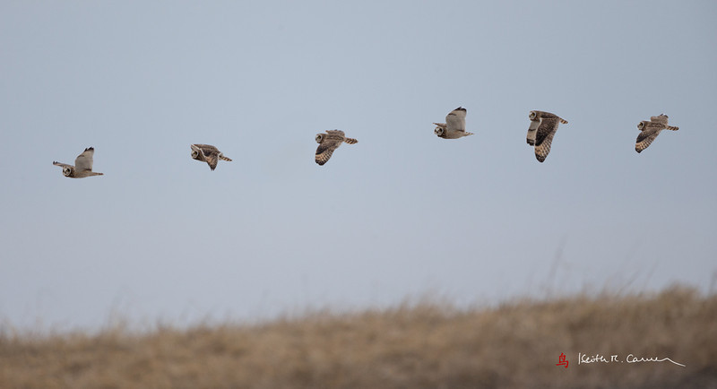 Short-eared Owl Flight Sequence