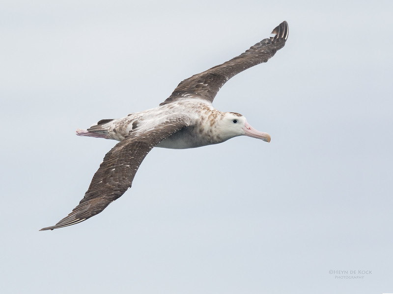 Antipodean Albatross, Eaglehawk Neck Pelagic, TAS, Sept 2016-1.jpg