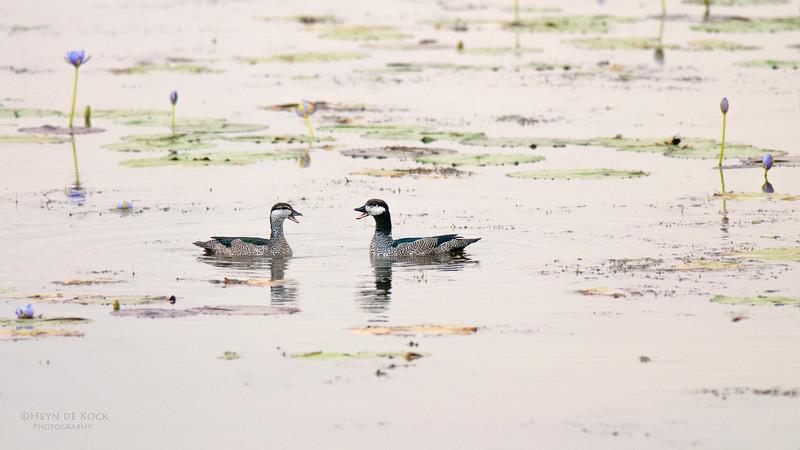 Green Pygmy-geese, Kakadu NP, NT, Oct 2010.jpg