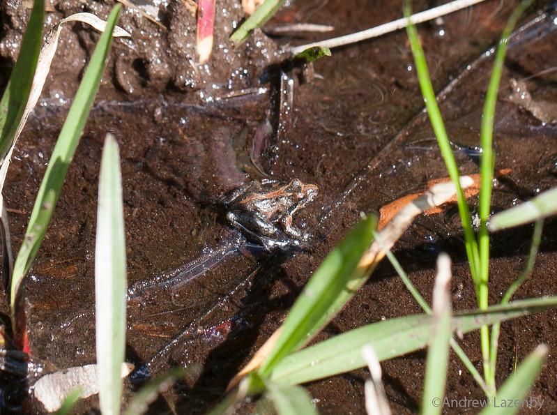 Cricket Frog.jpg