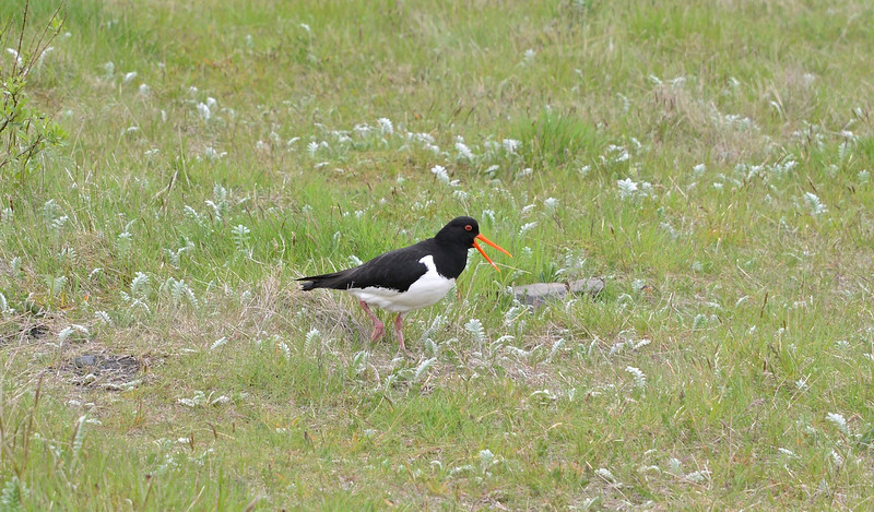 Oystercatcher at Skogafoss