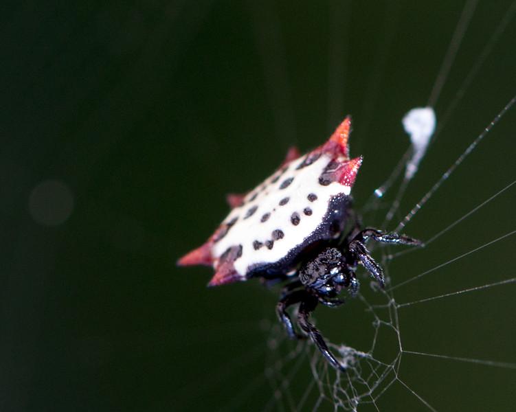 spiny orb weaver.jpg