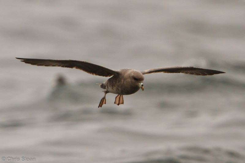 Northern Fulmar at pelagic out of Bodega Bay, CA (10-15-2011) - 691.jpg