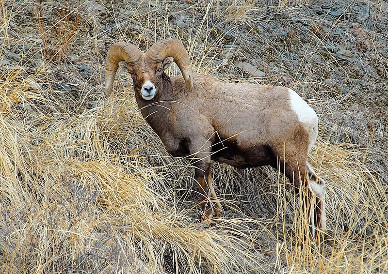 Yellowstone_BigHorn Sheep-4.jpg