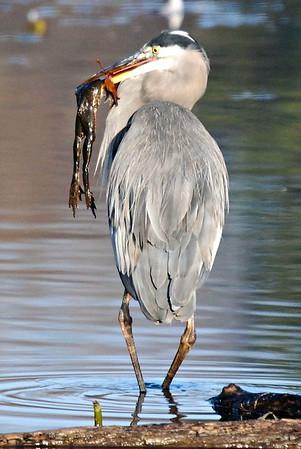 Heron NOT herring