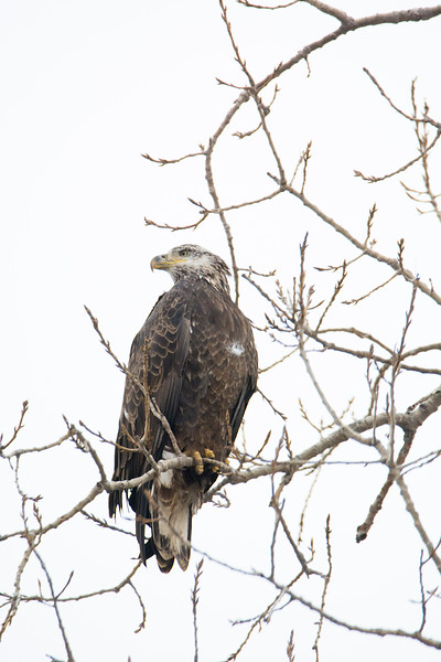Juvenile (3rd or 4th year) Bald Eagle
