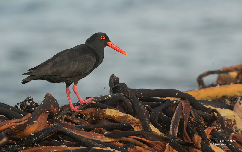 African Oystercatcher, Table Mountain NP, WC, SA, Jan 2014.jpg