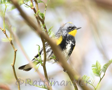 Audubon's Yellow-Rumped Warblers
