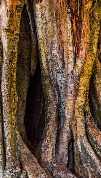 Banyan Tree 36