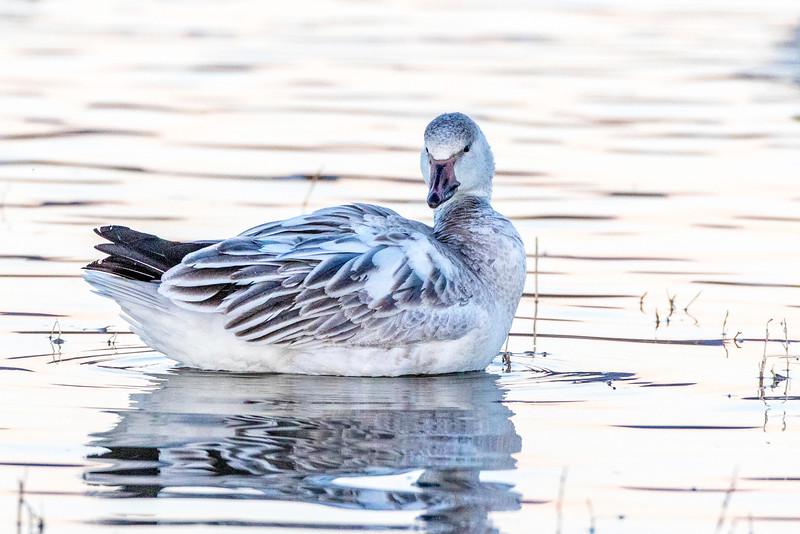 Snow Goose, juvenile