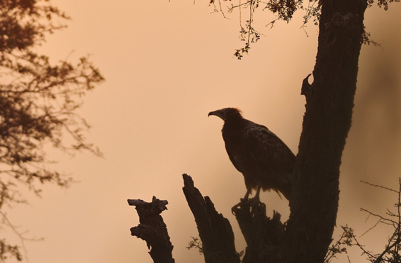 Morning-Vulture-Scape-01.jpg
