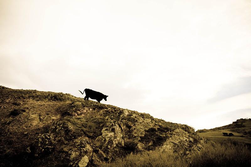 cows7 (1 of 1).jpg