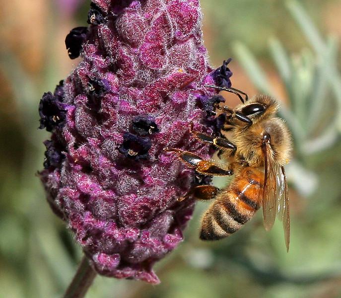2452 Bee on Blossom.jpg