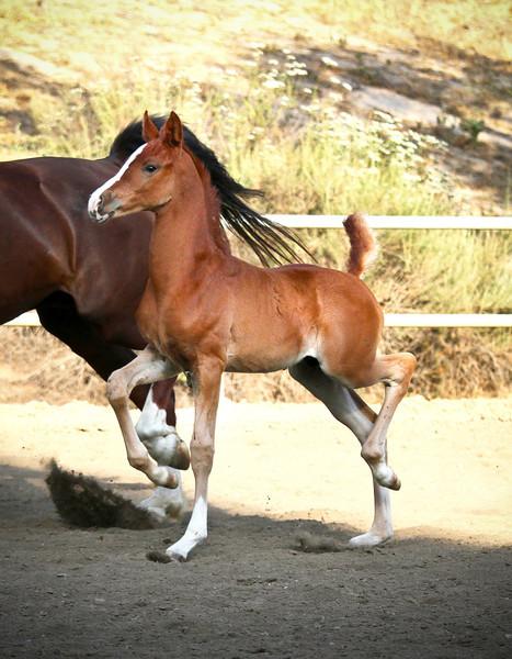 Bullard - Chestnut Half Arab Colt