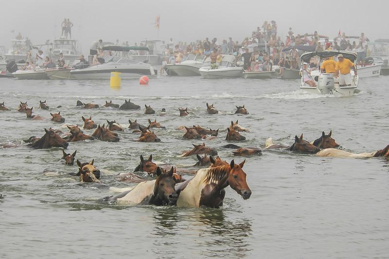 Chincoteague Island Pony Swim #2