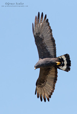 Zone-tailed Hawks
