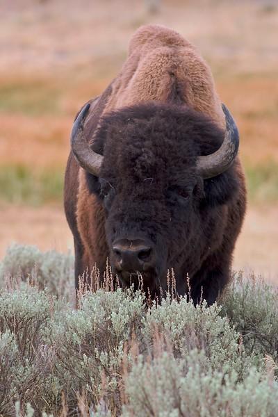 Bison in Sage Yellowstone 761_6182.jpg
