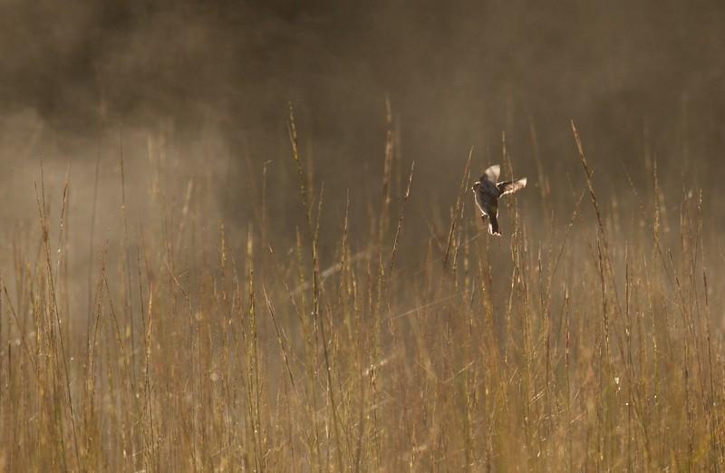 Yellow-rumped Warbler flycatching Stone Lake Road Sax-Zim Bog MN IMG_2282.jpg