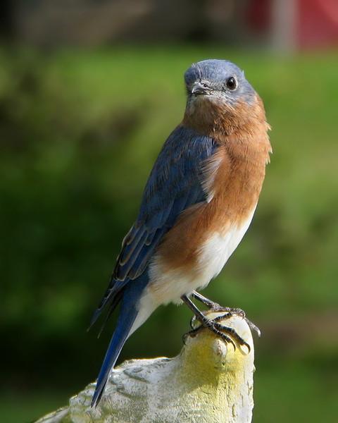 bluebird_fledgling_0051.jpg