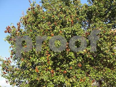 fire-blight-is-destructive-to-fruit-trees