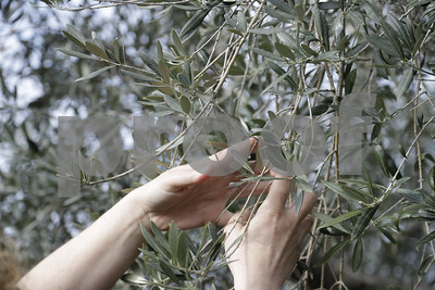 sticker-shock-for-olive-oil-buyers-after-bad-italian-harvest