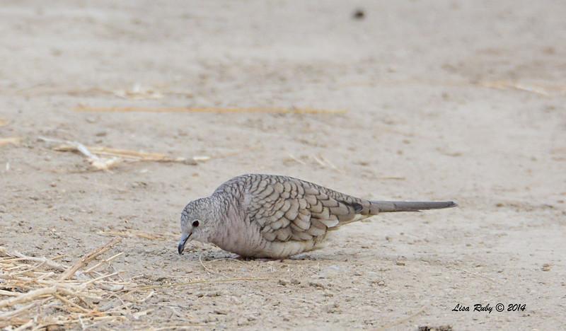Inca Dove - 2/2/2014 - Roadrunner Club, Borrego Springs