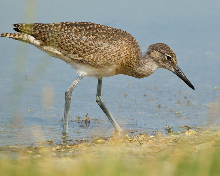 Willet  Crowley Lake 2012 07 12 (2 of 4).CR2