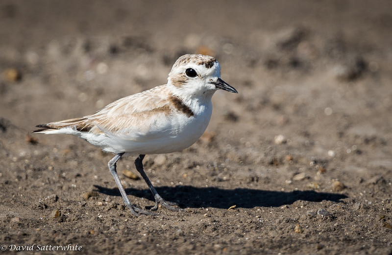 Young Plover or Killdeer